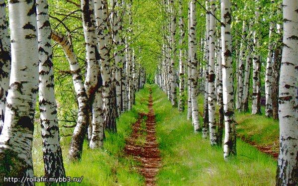Берёзовая роща. работа.  19.05.2008 00:08. здорово!!так и хочется прогуляться по тропинке. дерево целиком.