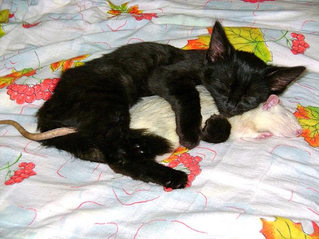 Кажется, что если её ловит собственная кошка, то это положительный сон.