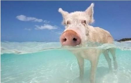 картинки свин