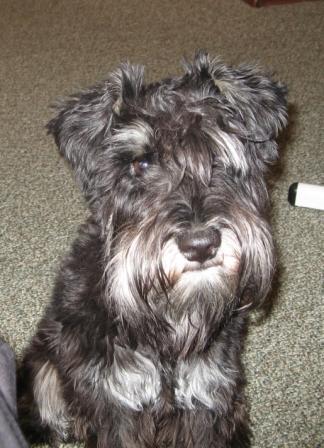 шницель фото собака