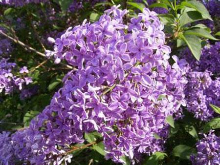 Syringa) - род кустарников, принадлежащий к семейству Маслиновые (лат.  Oleaceae).  Сюда относится до 10 видов...