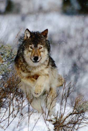 Волк.  Чем больше я узнаю людей, тем больше уважаю волков.