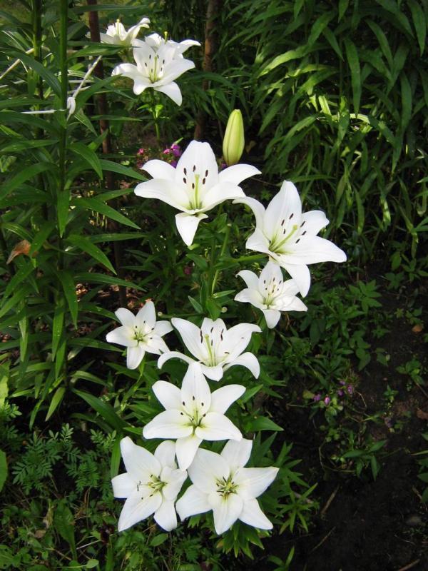 Белые лилии цветы любви