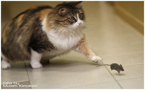 домашний кот ловит мышей живет