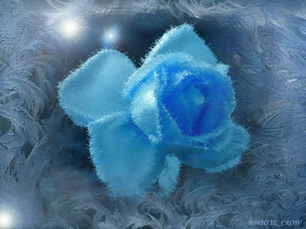 розы и морозы - обои для рабочего стола.