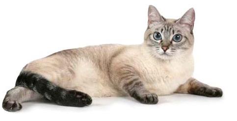 Феня - сертифицированная тайская кошка окраса сил-тэбби, имеет титул САС.