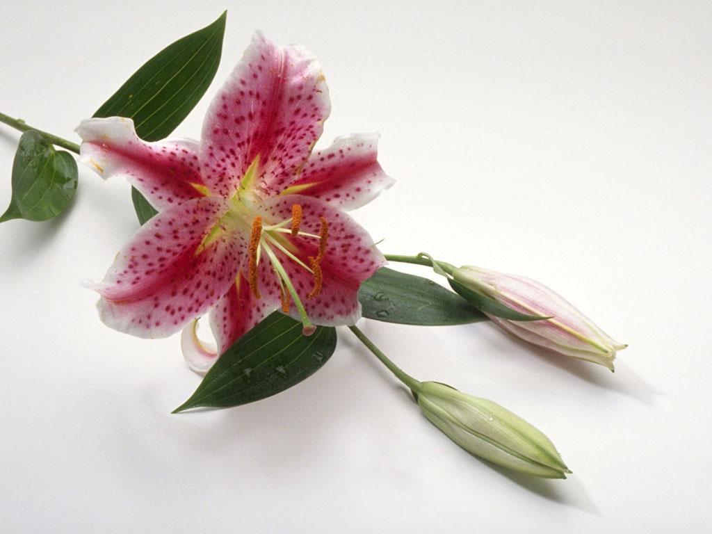 Открытки лилии с 8 марта