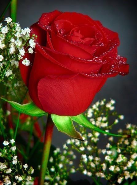 розы анимации красивые на телефон № 6963 бесплатно