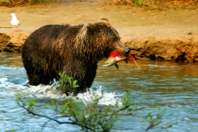 план медведь рыбак