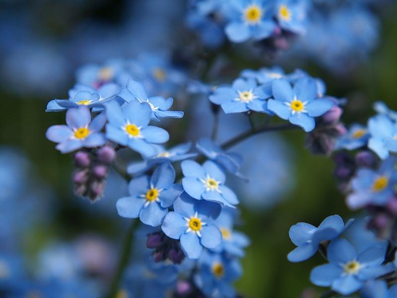 В наших широтах незабудки начинают показывать свои голубые лепестки обычно только к концу мая, зато в Европе этот...