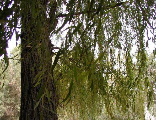 Стафилококк лечение травами.