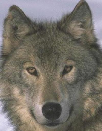 Скачать песню одинокий волк где то бродит моя стая