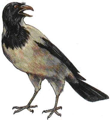 Ворона серая (Corvus corone comix), фото фотография картинка рисунок.