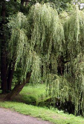 Ветла, белая ива, серебристая ива, белотал (Salix alba), дерево.
