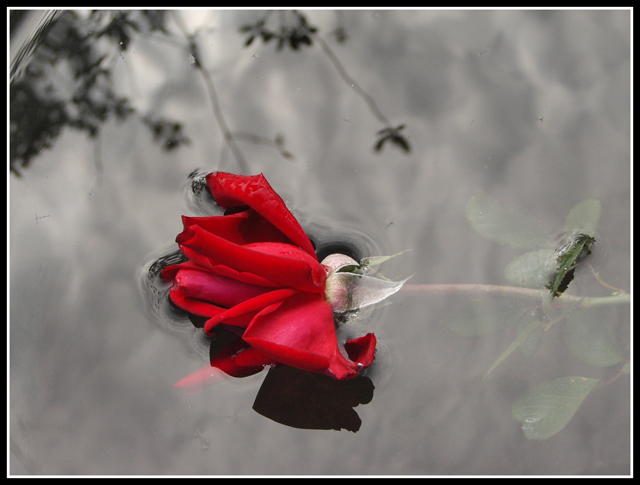 сорванная роза скачать торрент
