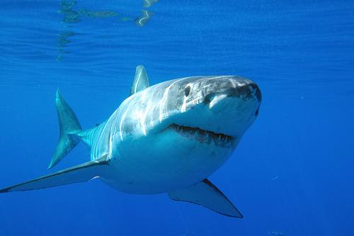 akula. akula Песня о доброй белой акуле для нее самой.