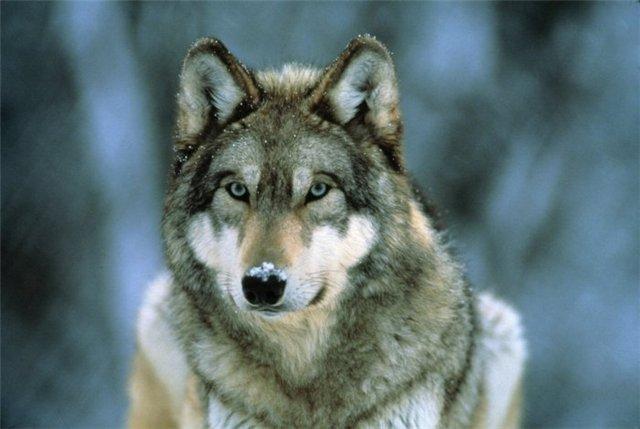 Волк и коза — картинка и текст к