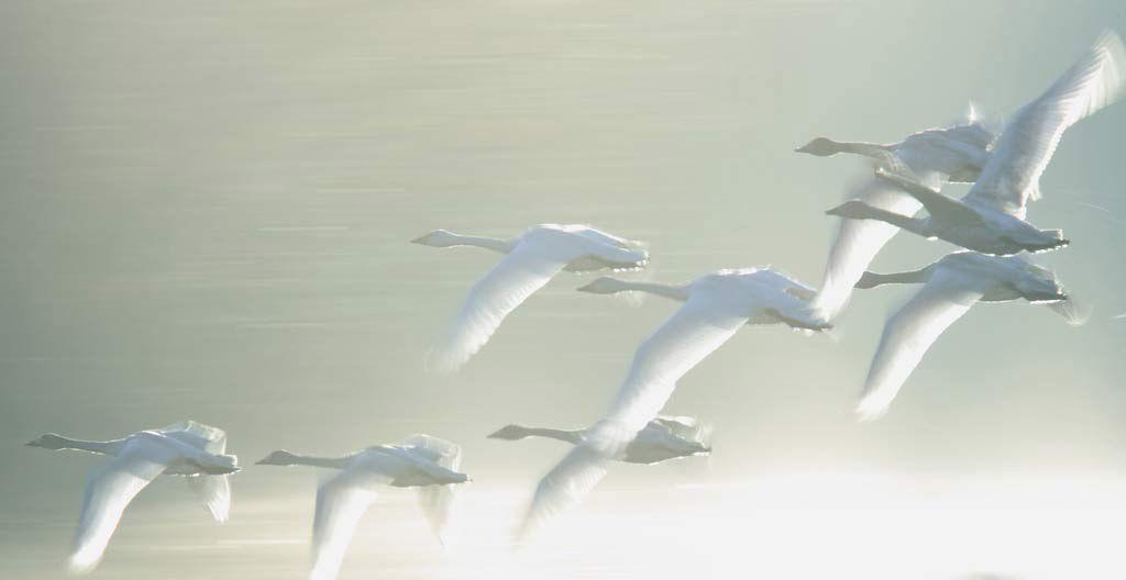 белая лебедь подруга весны авторы