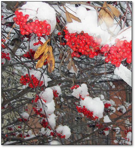 Гроздья рябины Грустно краснеют в снегу, Птицам на радость.  В каждой снежинке Жемчуг польется с небес Белое чудо.