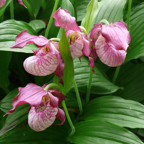 цветок венерин башмачок фото
