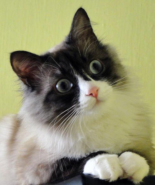 Гламурный кот