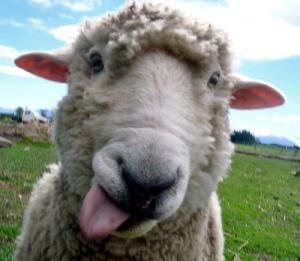 Вопрос - ответ.  Сообщества.  Предотвращен ввоз на территорию области овец из Дагестана.