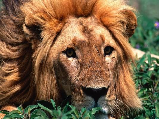 лев грустный фото