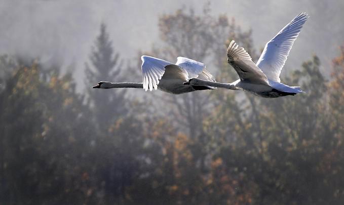 Крылья лебедей