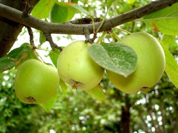 В первую очередь - это яблонный цветоед.  Ранней весной жук откладывает яйца внутрь цветковых бутонов.