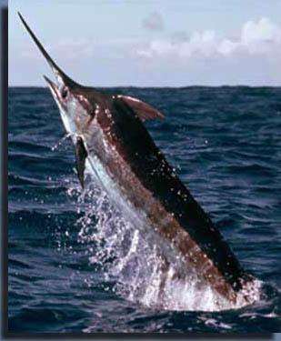 Рыба-меч.  Олигоцен являлся последней эпохой палеогенного периода.