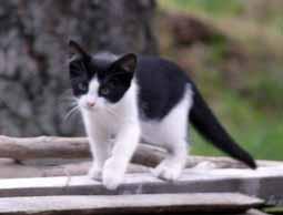 кот черно белый картинки