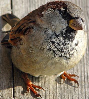 """По имени этого заурядного и привычного спутника человека назван целый отряд птиц- """"Воробьиные"""