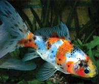 """Тема: Продам, поменяю аквариумных рыбок  """"Камета """" (см фото)"""