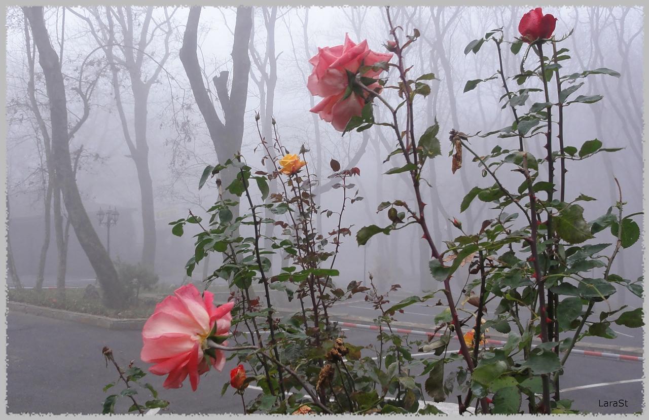 Туман и розы