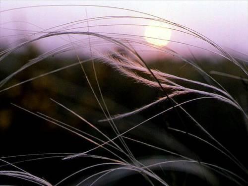фото степной ковыль