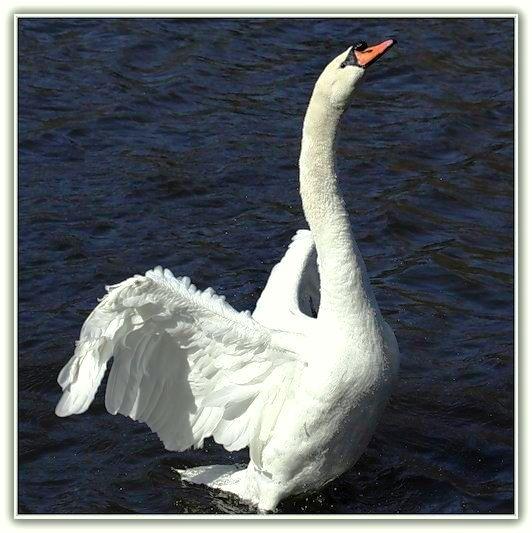 видео как лебедь белая