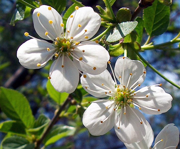 "фото  ""Наша Сакура. фото  ""Наша Сакура. "" метки: макро и крупный план, природа, цветы."
