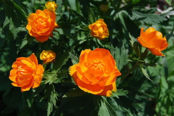 огоньки цветы фото:
