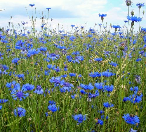 Соцветие корзинки.  Цветки синие, голубые.  Плод семянка.