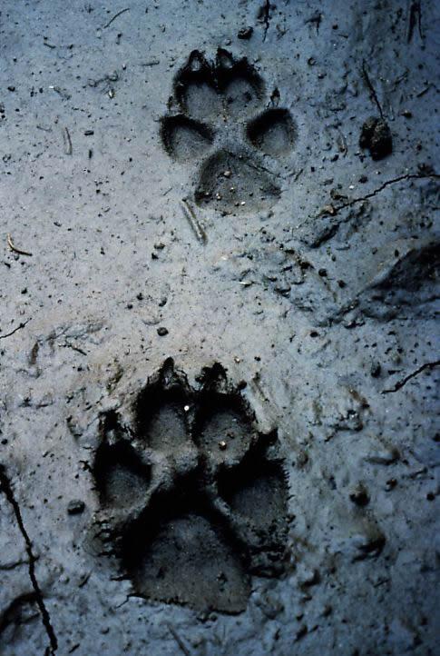 след волка на снегу фото всего