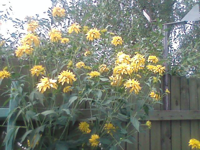 Золотые шары цветы стихи