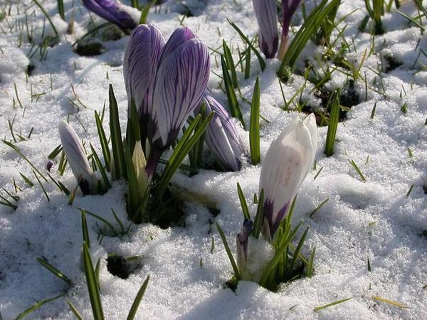 А какие еще цветы во многих местах России самые-самые первые.  Причем, растут в огороде, по пустырям, на краю канав...