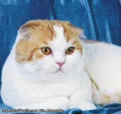 Фотографии кошек пород шотландская вислоухая и скоттиш страйт.