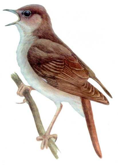 b Обыкновенный соловей /b- н - Лесные b птицы/b.
