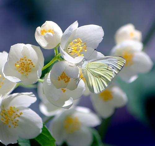 Цветы жасмин фото