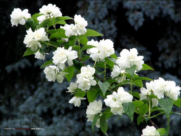 Жасмин лучшего роста и цветения достигает на солнечных местах плодородных участков.  Растет быстро.