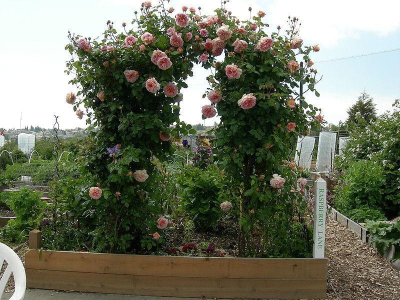 Арки для вьющихся роз фото