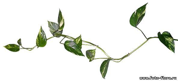 Цветок плющ мужегон фото - Фото цветов.