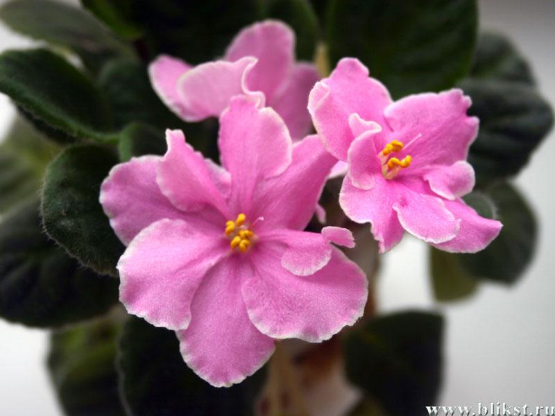 Например фиалки - запах их цветов излечивает от.