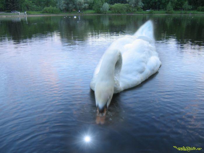 а белый лебедь на пруду качает павшую звезду видео